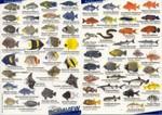 Visherkenningskaart Caribisch Gebied