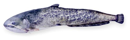 Meerval 115cm (Wels Catfish)