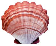 Zeeschelp (Scallop) 45cm