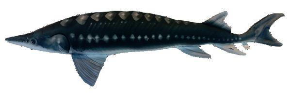 Steur (Sturgeon) 120cm